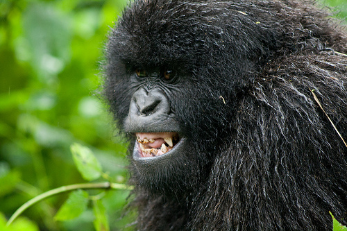 Angry Silverback Gorilla Face - photo#25